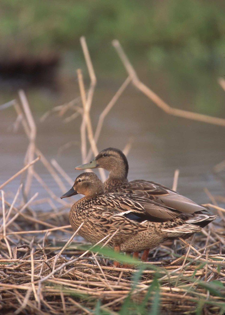 Hawaiin Duck - Koloa.