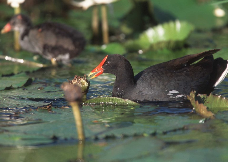 Hawaiin Common Moorhen in Hawaii.