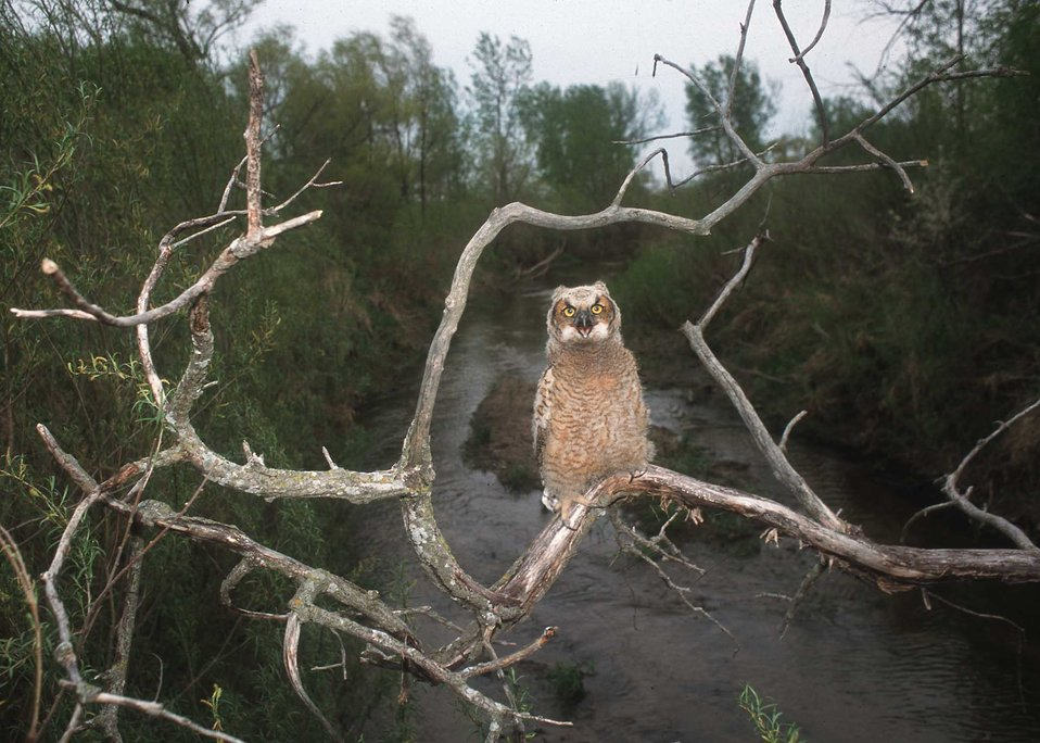 Great horned owl perches above Bear Creek in central Iowa. A riparian forest buffer has been planted in the area for more than 10 years.