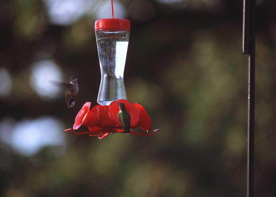A hummingbird feeder attracts hummingbirds to a backyard in Story County, Iowa.