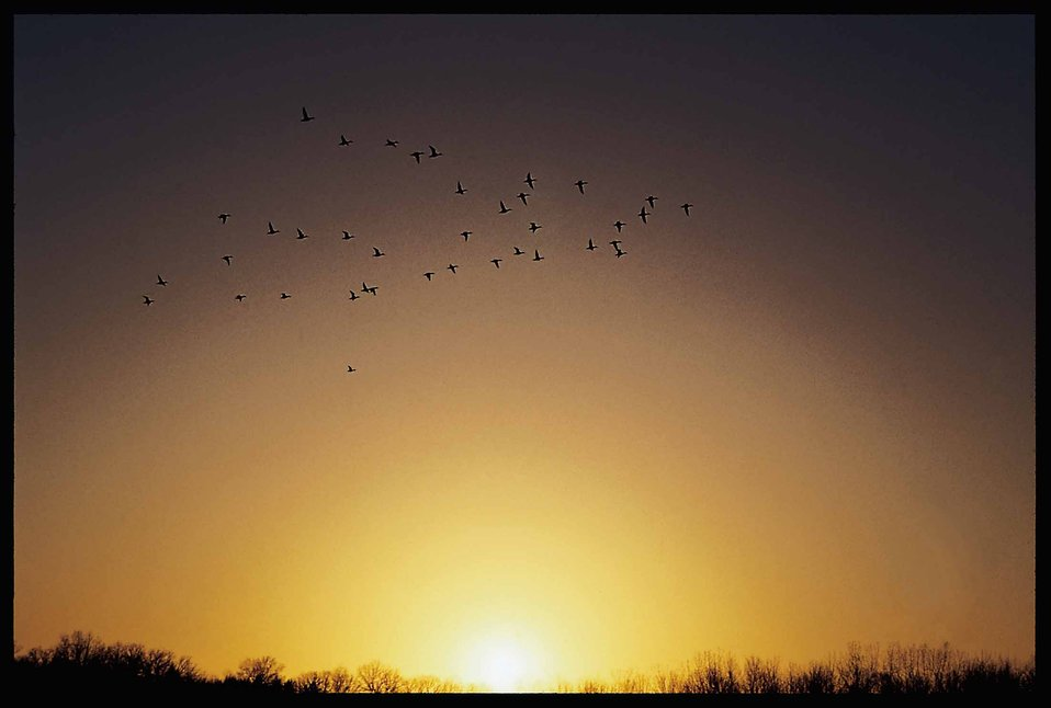 Ducks flying across a sunset