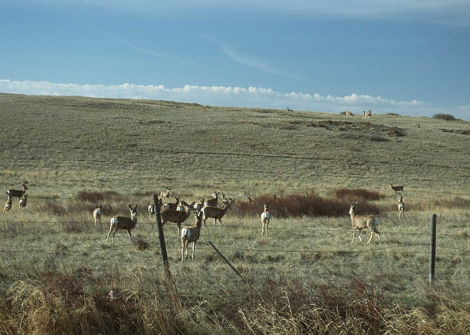 Deer utilizing rangelands in northcentral Montana.