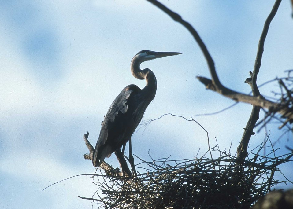 Great Blue Heron on nest in a rookery in the prairie pothole region of eastern South Dakota.