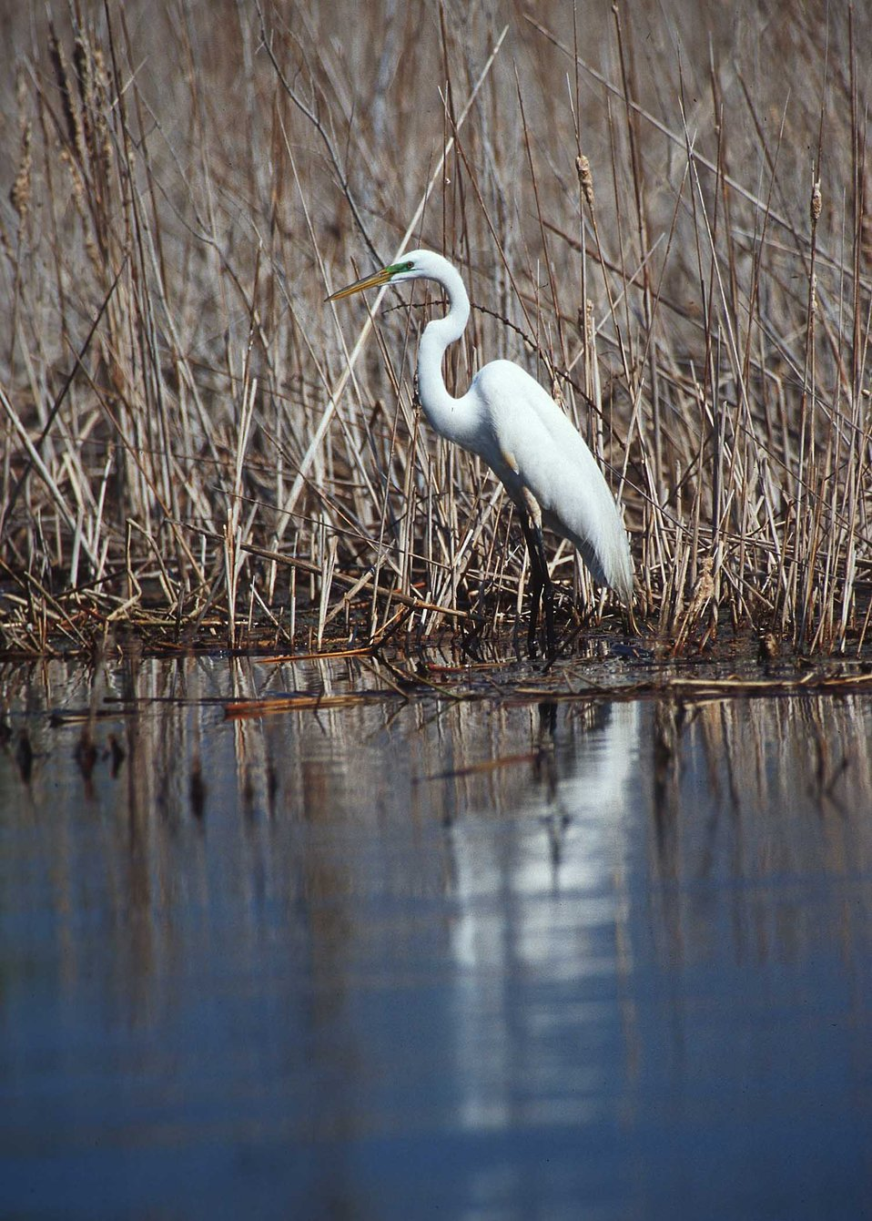 Great egret in the prairie pothole region of South Dakota.