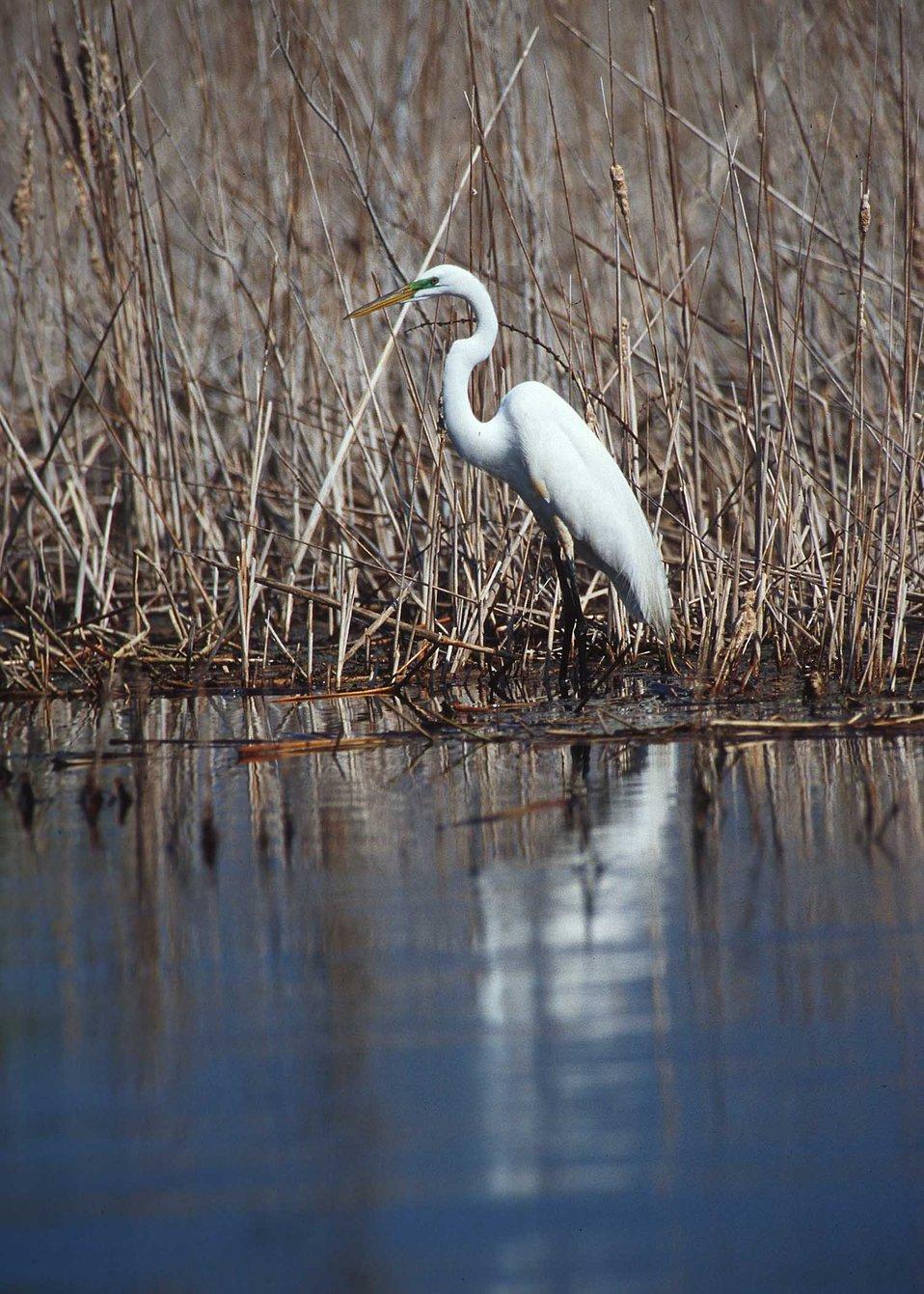 Great egret in the prairie pothole region of South Dakota.
