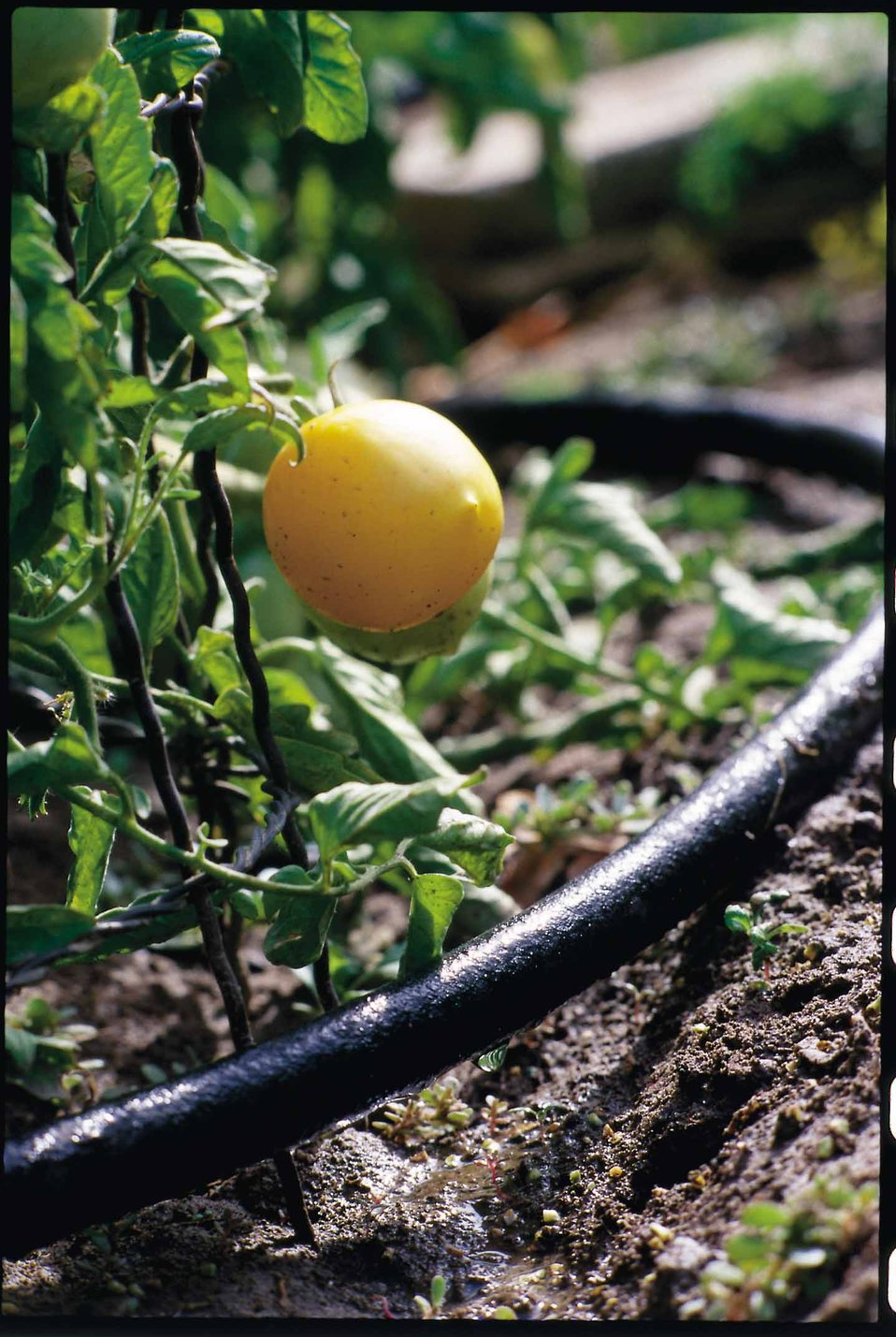 Drip irrigation is an excellent way to conserve water in gardens.