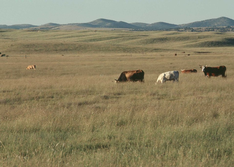 Cattle graze on well-managed rangeland near Tuscon, AZ.