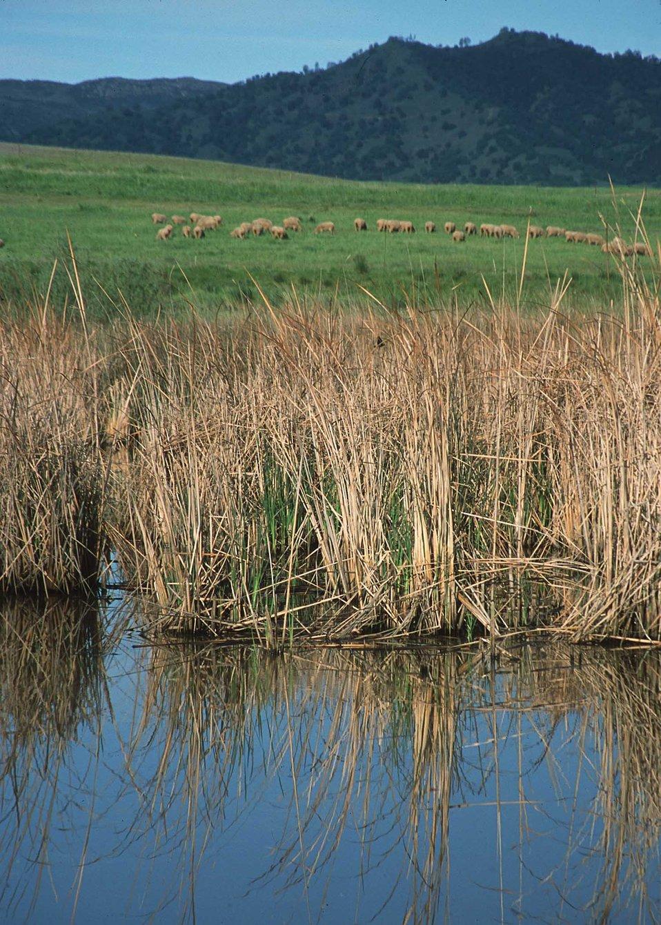 Sheep graze in pasture in background.  Restored wetland in foreground.