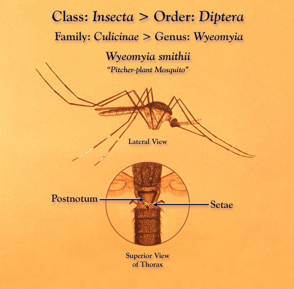 This illustration depicts a 'pitcher-plant', Wyeomyia smithii mosquito from a lateral view, as well as an enlarged inset highlighting its me