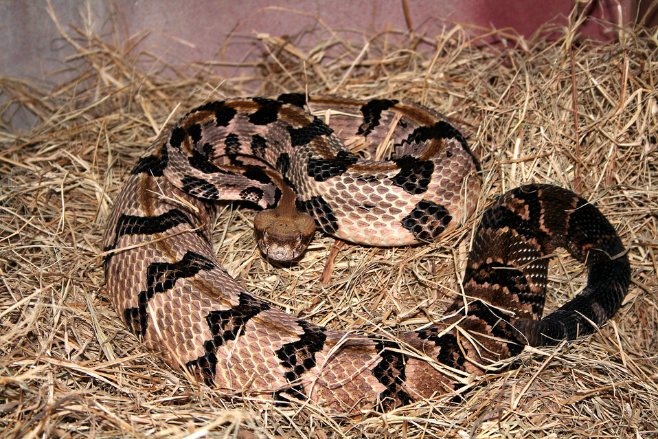 This 2005 image depicted a 'timber rattlesnake', Crotalus horridus, a large, heavy bodied, banded rattlesnake that ranges throughout a large