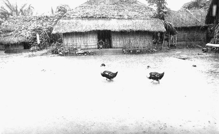 This image depicted some ducks 'on parade' as they passed in front of a typical Bangladesh middle-class home with its thatched roof and wall