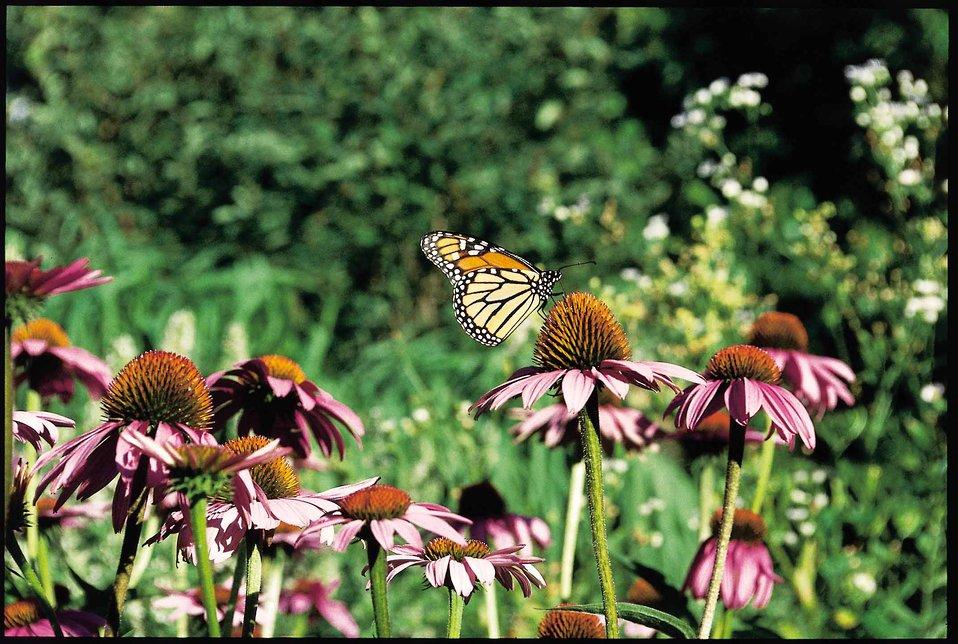 Monarch butterfly on purple prairie coneflower in a back yard in Des Moines, Iowa.