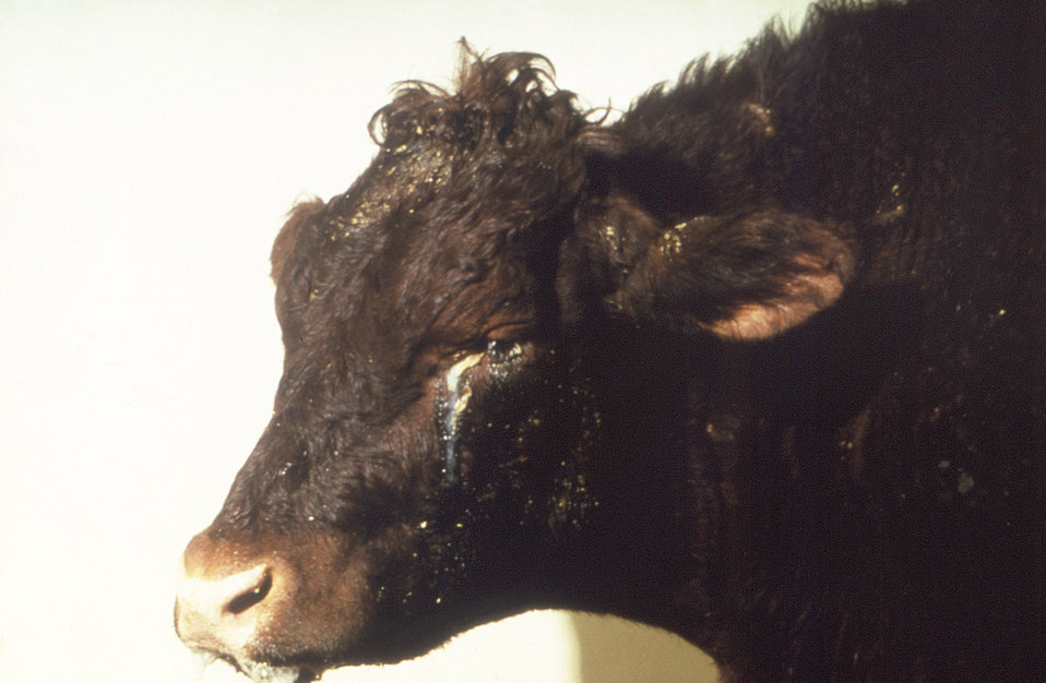This image depicts the left side of a cow's head, which is exhibiting symptoms of an illness diagnosed as Rinderpest virus, also known as ca