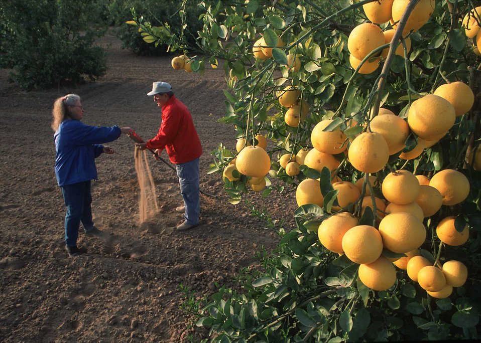 District Conservationist Bobbi McDermott and technician Neal Hoy test for soil moisture in an irrigated citrus (grapefruit) orchard in Yuma,