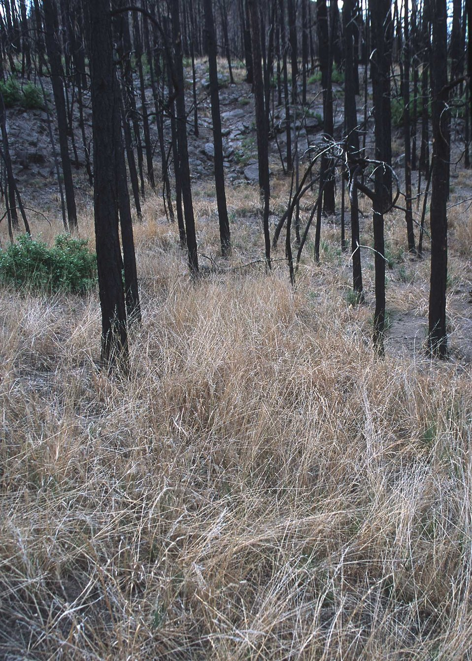First years growth of emergency reseeding after the Los Alamos fires.  Some of the species planted for erosion control and habitat improveme