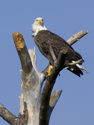 An American Bald Eagle in a tree