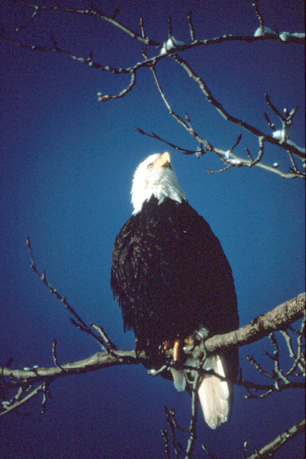 A bald eagle sitting on a tree branch