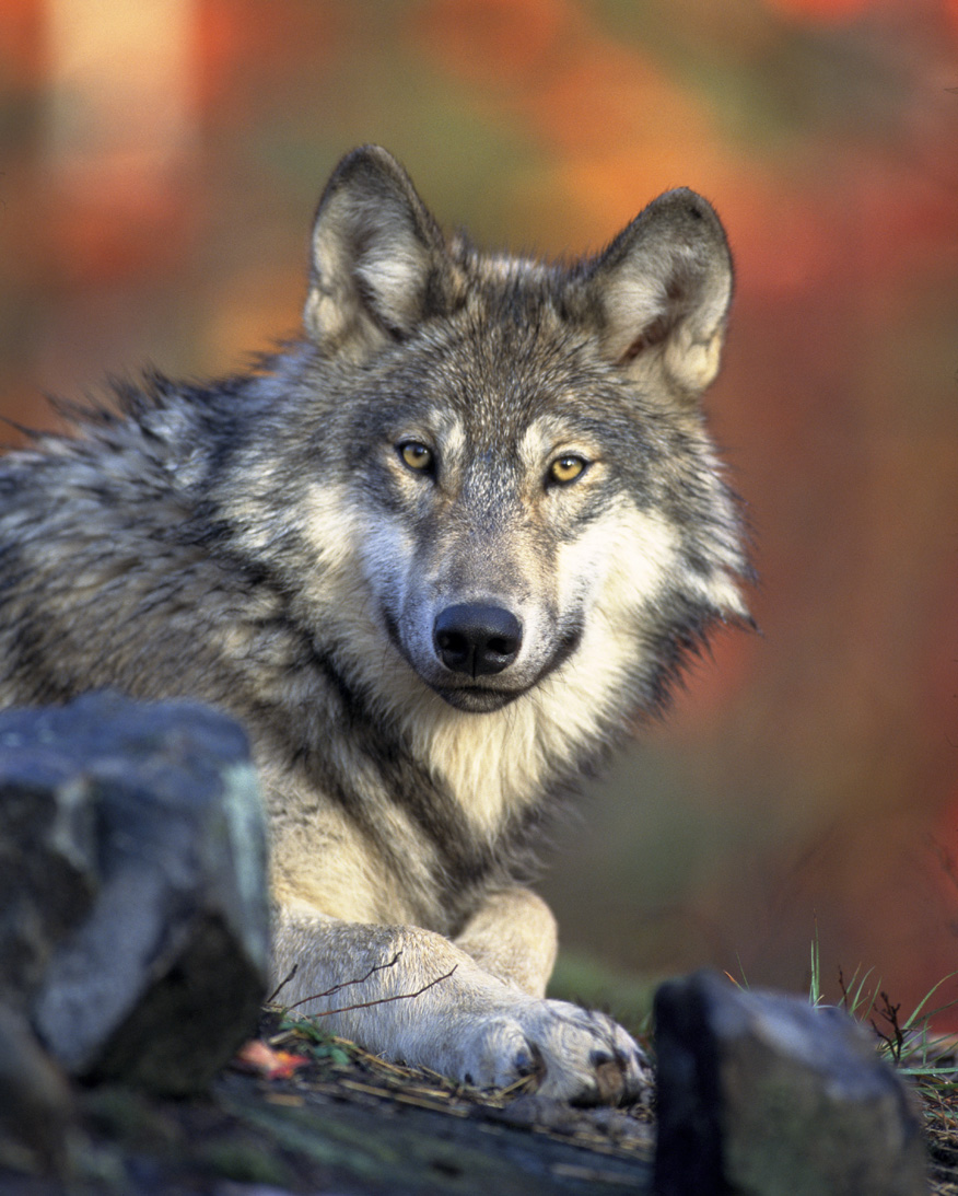 Close-up of a gray wolf