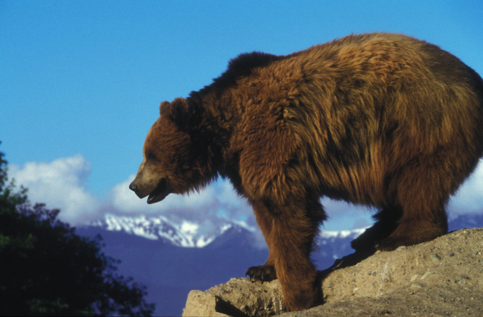 A grizzly bear on a rock