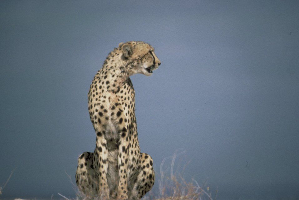 A cheetah sitting