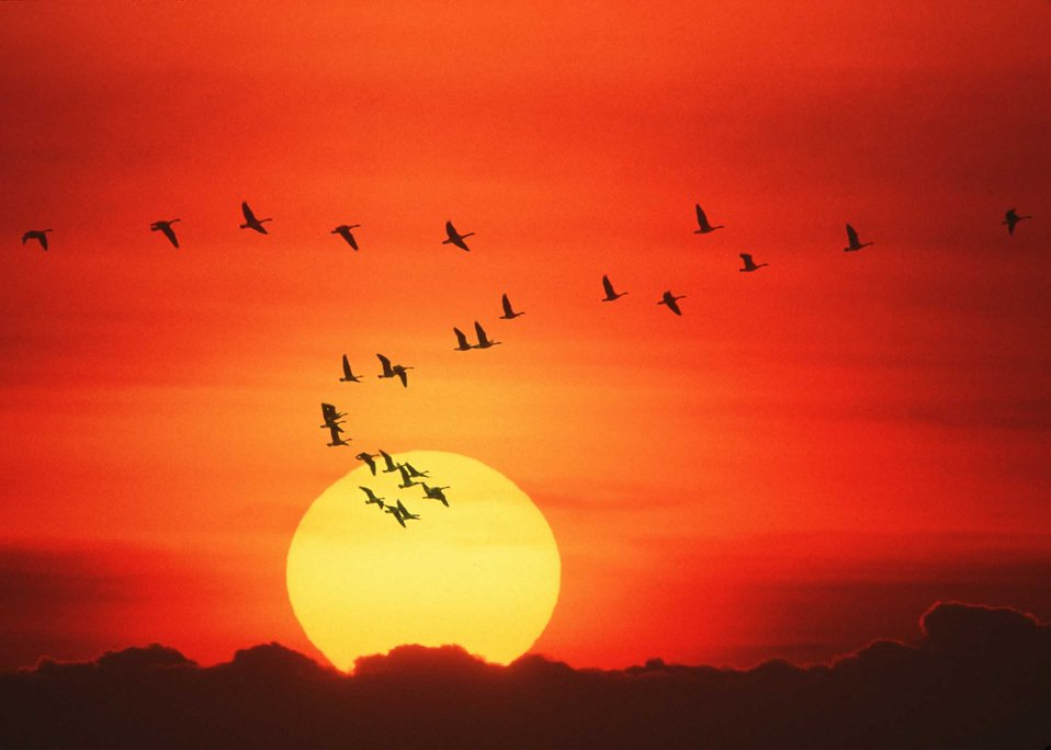 Canada geese and a sunset