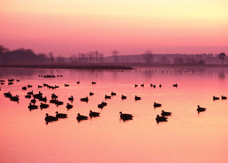 Canadian geese rest confortably in wetlands on Maryland's Eastern Shore.