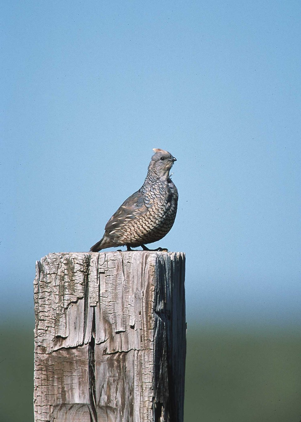 Scale quail perched on post in Eastern New Mexico ranch.