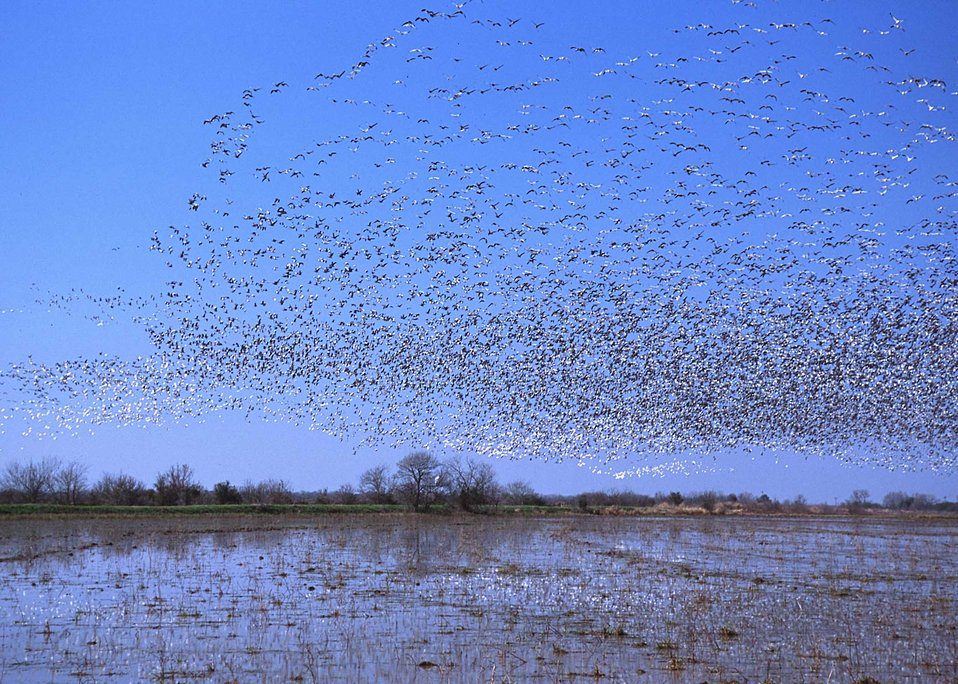 Flooded croplands near Gueydan, Louisiana attract thousands of geese in the winter.