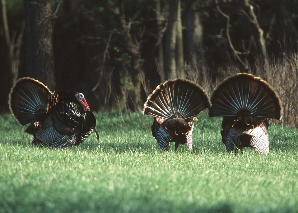 Male turkeys displaying at the edge of a wheat field in Manhattan, Kansas.