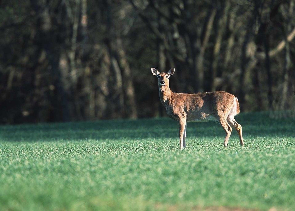 White-tailed deer in farm field. Manhattan, Kansas.