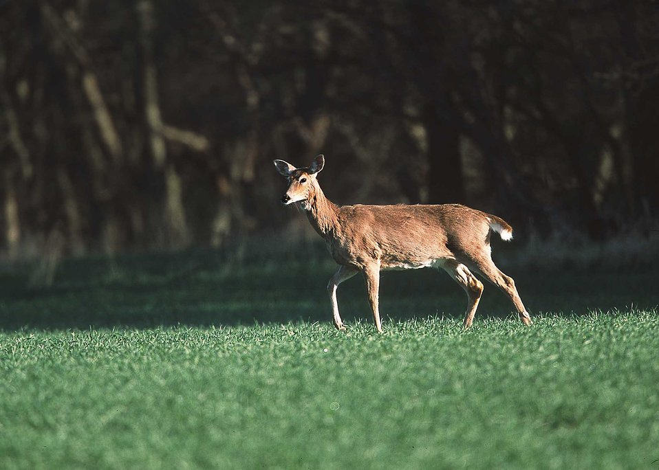 A white-tailed deer in a field