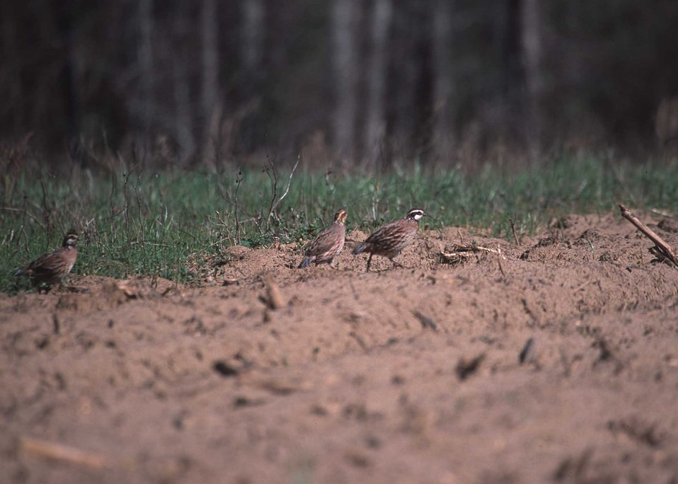 Bobwhite quail on Project Wings site in Georgia.  Project implemented by NRCS, RC&D, and Georgia Power Company.