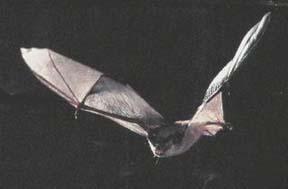 A gray bat in flight