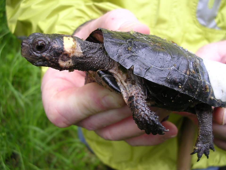 Bog turtle with affixed radio transmitter