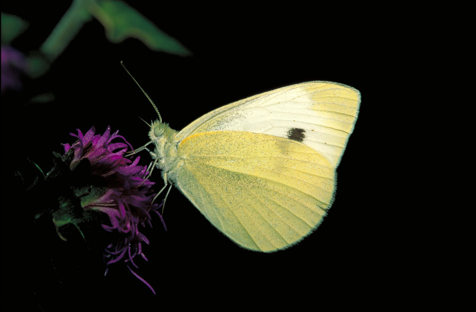 Cabbage White butterfly on Rough blazingstar