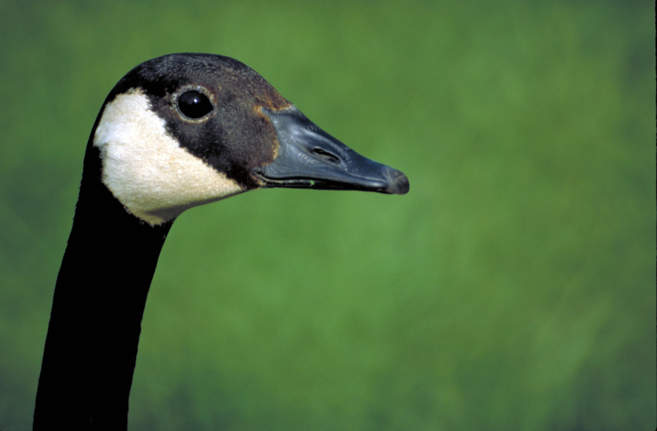 Close-up of a Canada goose