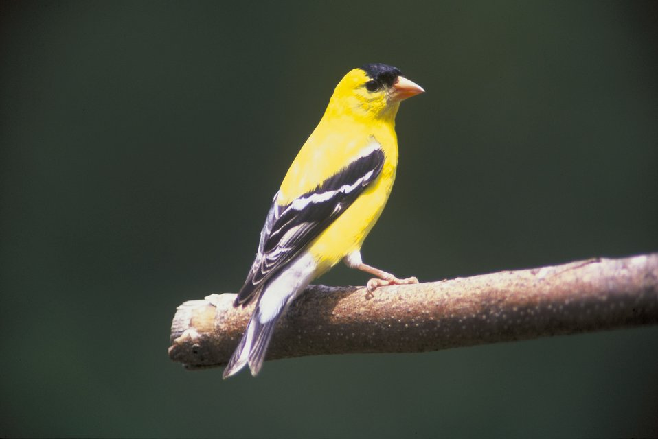 Goldfinch on a tree branch.