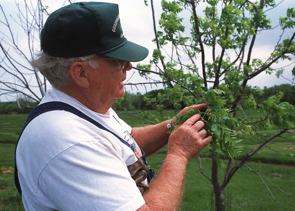 Dr. Howard Roberts inspects buds on a young walnut tree on his southwestern Missouri tree farm.