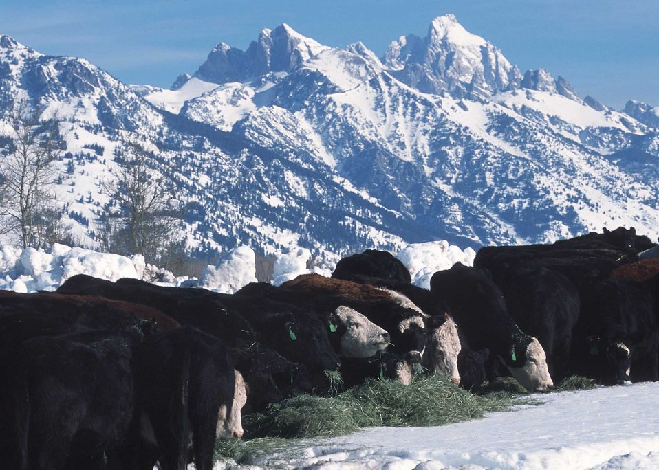Feeding hay to cattle in deep snow conditions. Jackson, Wyoming.