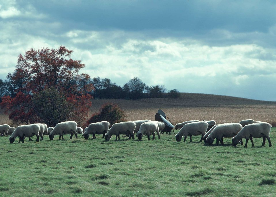 Sheep grazing in pasture in cental Maryland.