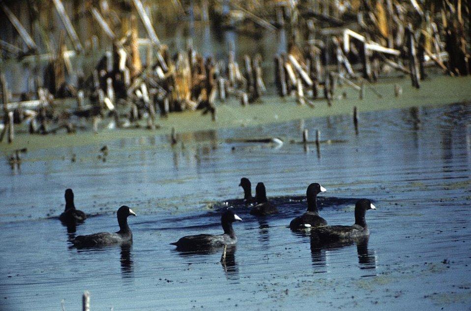 American Coot Flock