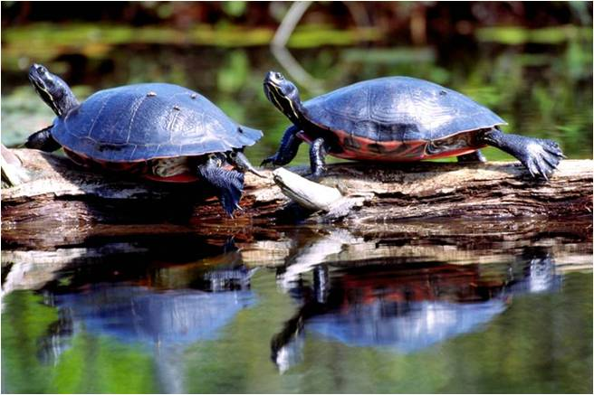 Basking Northern Red-Belllied Cooters