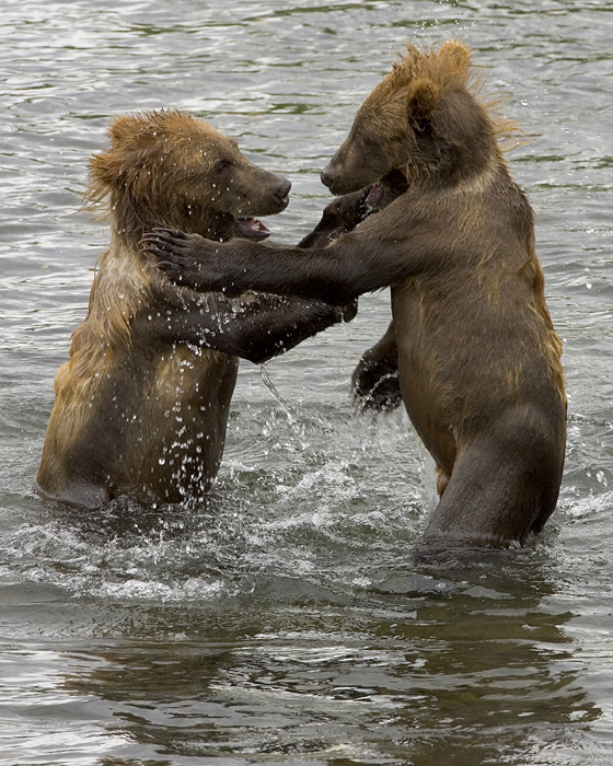 Brown bear cubs wrestling in the water