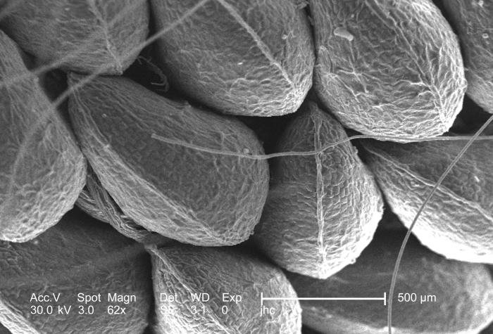 Under a low magnification of only 62x, this scanning electron micrograph (SEM) depicted a view of a seed clustered exterior of a commonly gr