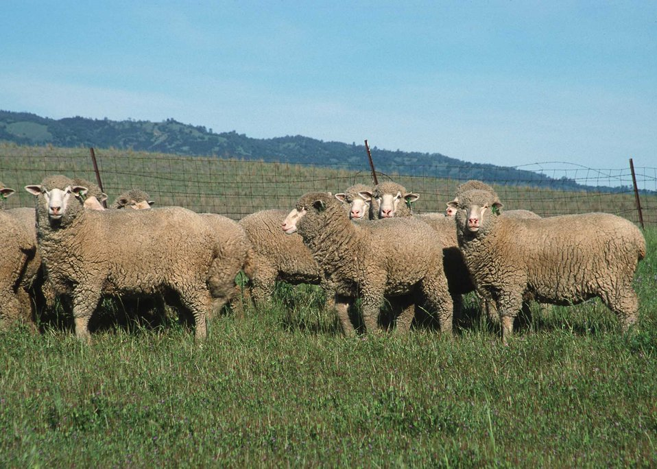 Sheep graze in Yolo County, CA.
