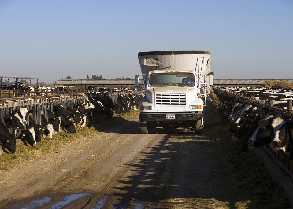 Feeding cows at a farm