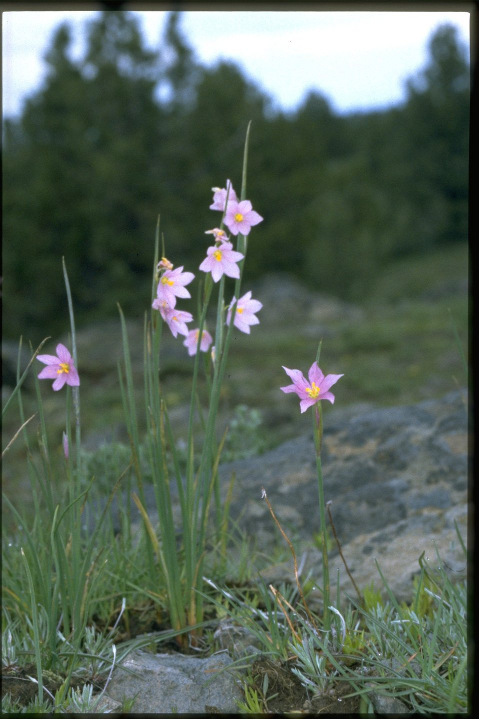 Farshot of Grass Widow, Sisyrinchium Douglasii, wildflowers.