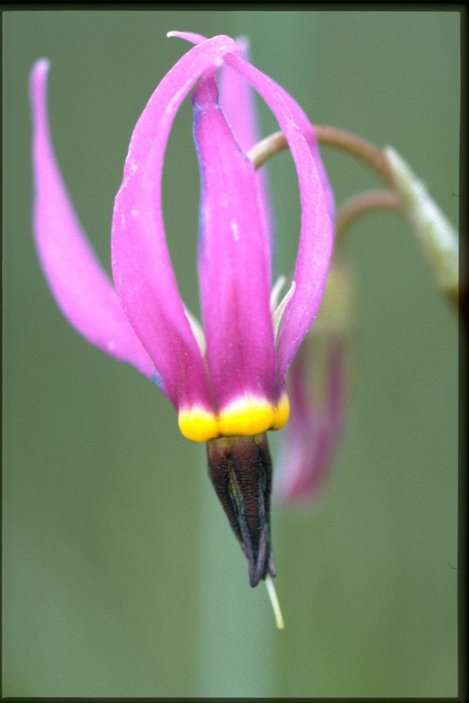 Closeup shot of Dark-Throat Shooting Star, Dodecatheon Pulchellum wildflower.