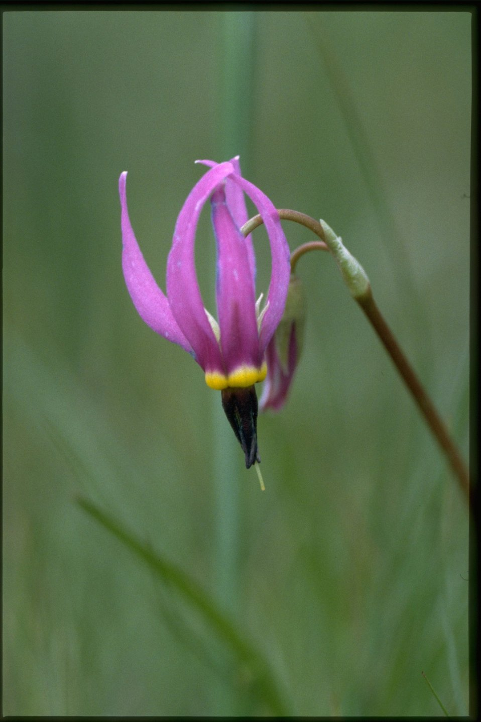 Closeup shot of Dark-Throat Shooting Star, Dodecatheon Pulchellum wildflower.