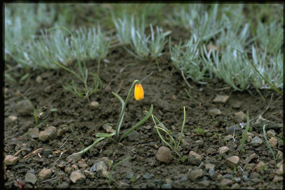 Farshot of Yellow Fritillary, Fritillaria Pudica, wildflower.